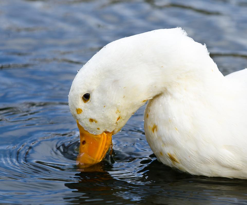 Ducks at Theta Pond